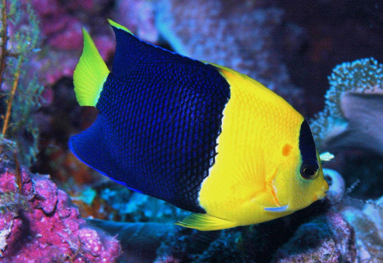 Bicolor Angelfish (Centropyge bicolor) Species Profile :: AquariumDomain.com