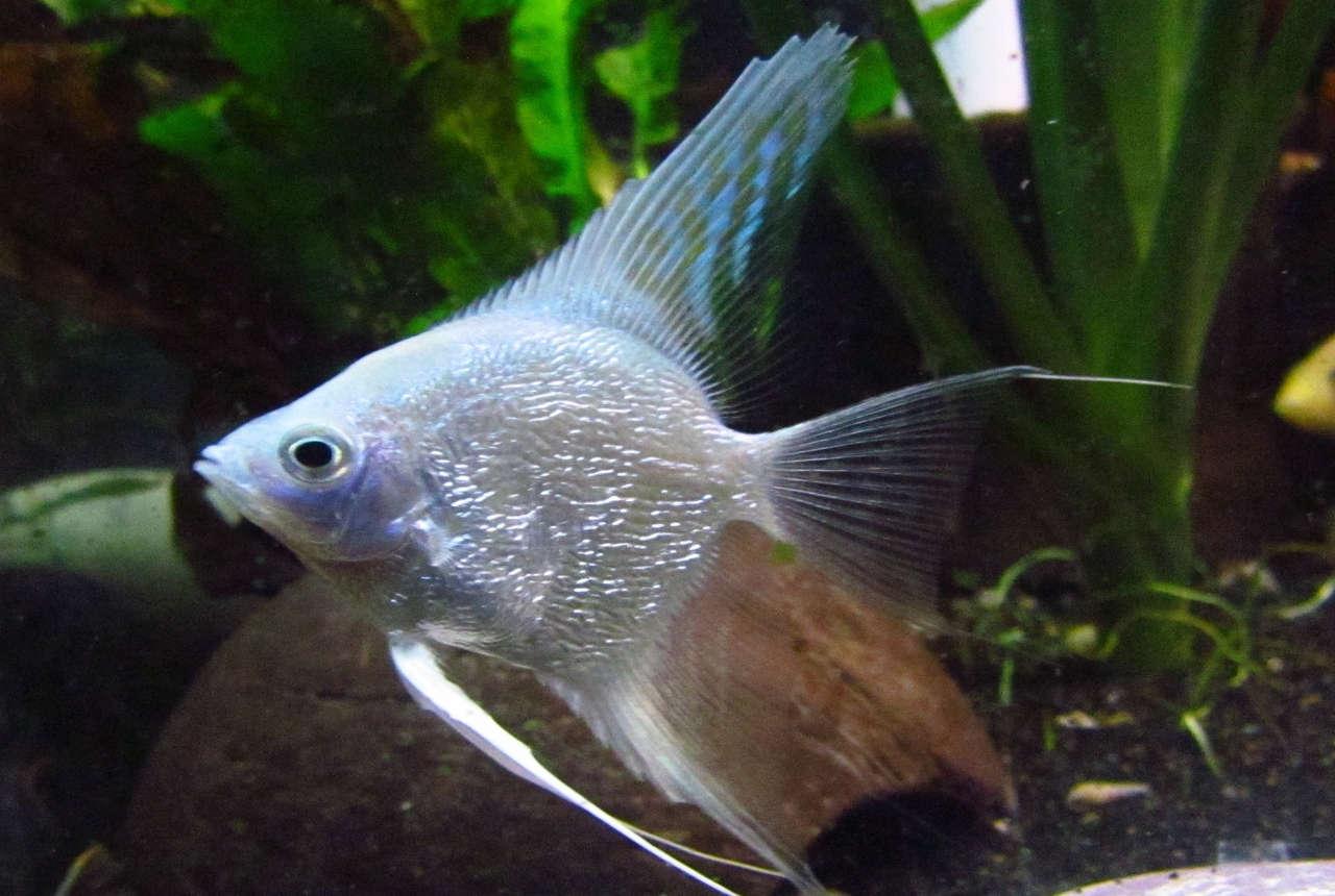 Platinum Angelfish Pterophyllum Sp Species Profile Aquariumdomain Com