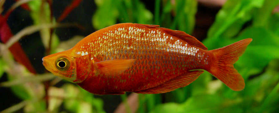 Red Rainbowfish Glossolepis Incisus Species Profile Aquariumdomain Com
