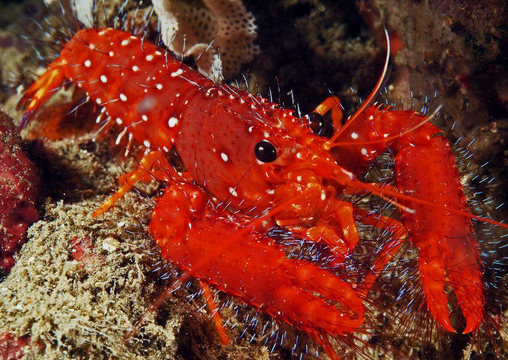 Red Reef Lobster (Enoplometopus occidentalis) Species Profile ::  AquariumDomain.com