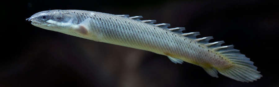 Senegal Bichir Species Profile Aquariumdomain Com